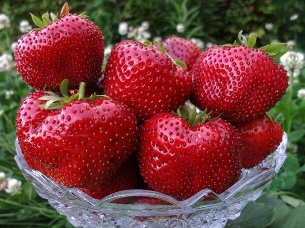 Как посадить и выращивать клубнику-землянику сорта «ирма»