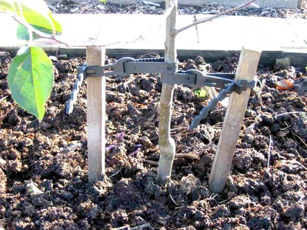 Как правильно посадить персик в домашних условиях