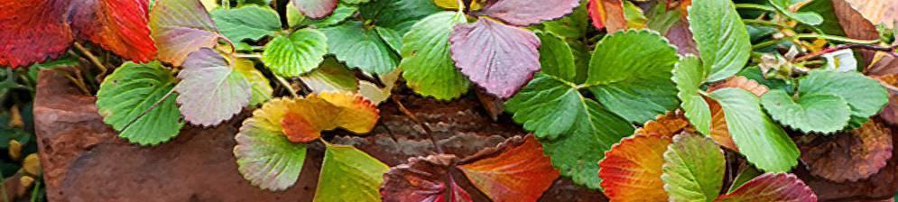 Появились пятна на листьях клубники: что делать и чем лечить грибок?