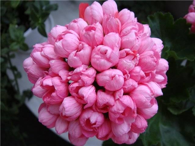 Пеларгония: выращивание, уход, размножение