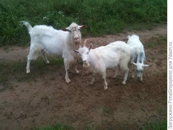Отравление овец, коз, коров: признаки, что делать и чем может отравиться теленок — лечение, симптомы белковой интоксикации крс и заражения травой — moloko-chr.ru