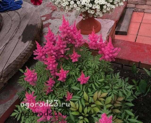 Астильба: посадка и уход, фото | сажаем сад