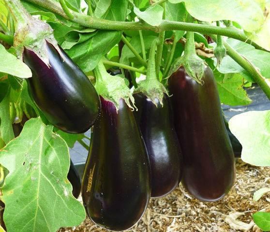 Баклажаны - выращивание и уход в теплице, особенности посадки
