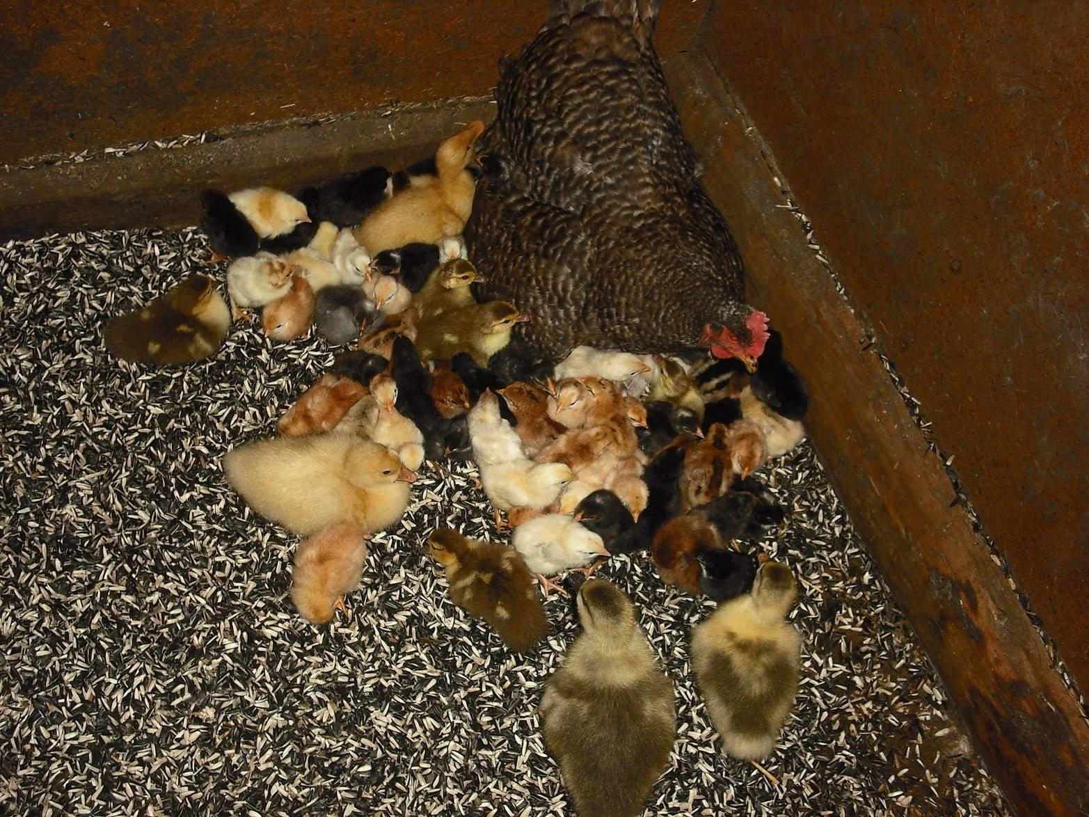 Выращивание цыплят с наседкой в домашних условиях, как все организовать и можно ли это сделать без нее?
