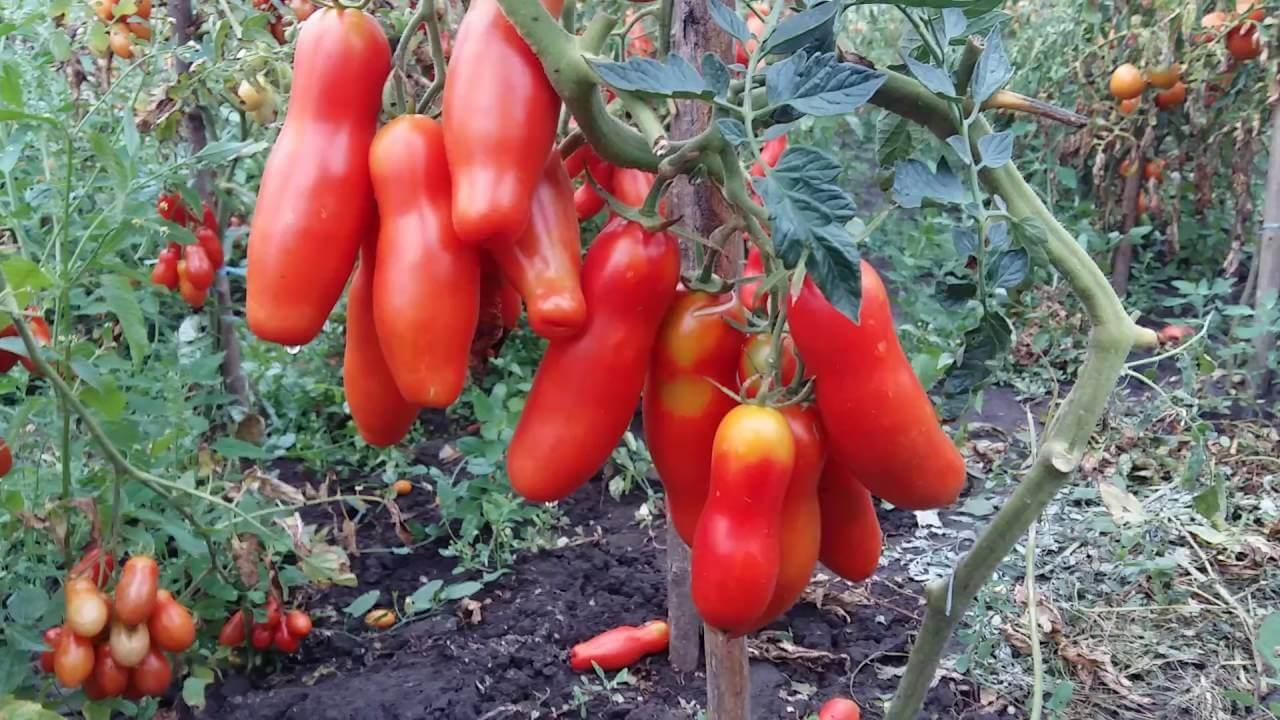 вас есть томат аурия отзывы фото урожайность проанализировала деятельность банковской