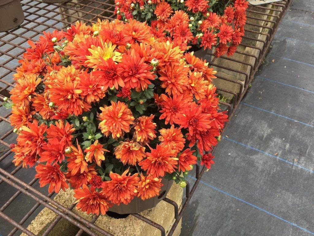 Что добавить в воду для хризантем. что добавить в воду, чтобы хризантемы дольше стояли в вазе