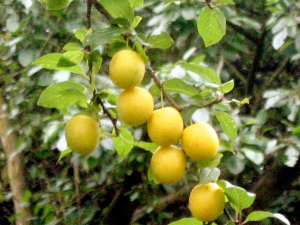 Алыча злато скифов – неприхотливый сорт с «золотыми» плодами