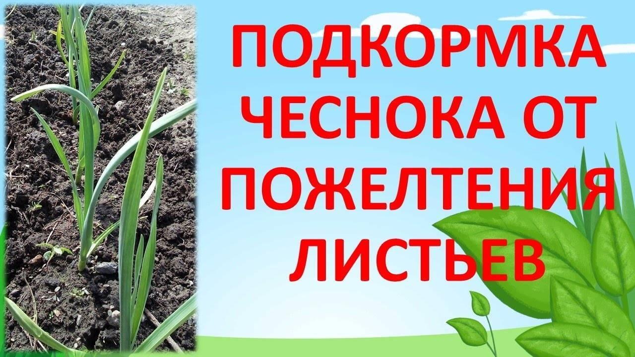 Чем подкормить чеснок весной. натуральная подкормка чеснока весной. целых 5 вариантов!