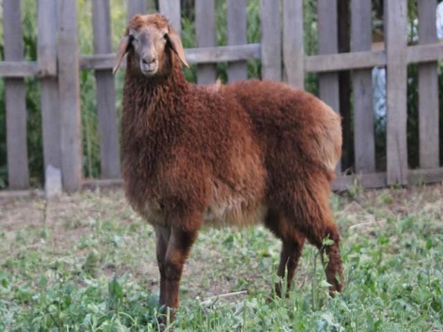Эдильбаевская порода овец описание внешнего вида и основы по разведению