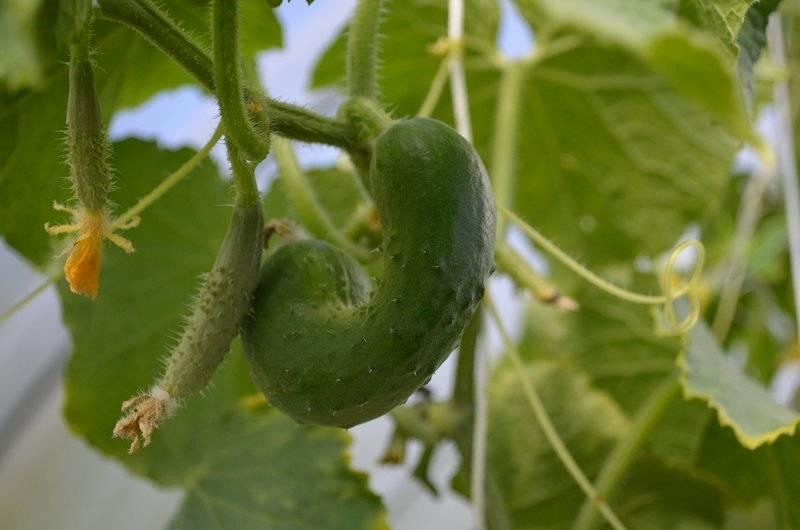 Огурцы растут крючком: причины искривления, как исправить