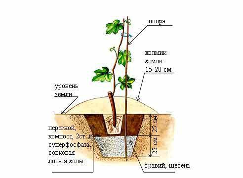 Как правильно посадить и вырастить виноград в средней полосе россии
