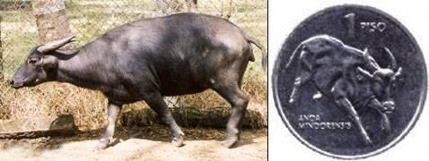 Карликовый мини буйвол описание и характеристики видов среда обитания на сулавеси аноа и кентусы разведение в неволе
