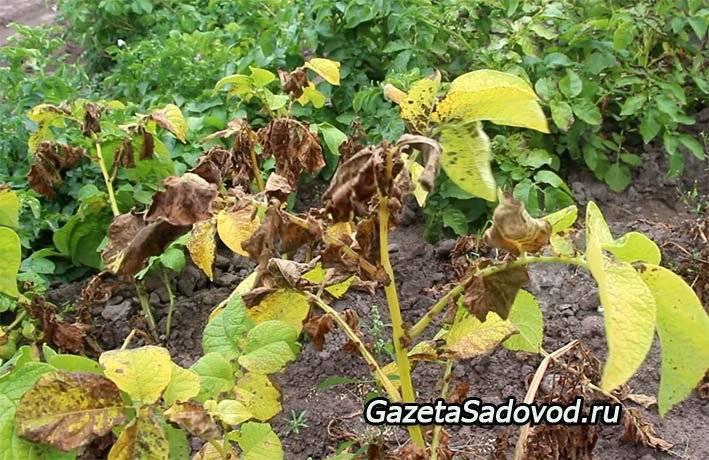 Фитофтороз томатов и картофеля – что делать производителям культур