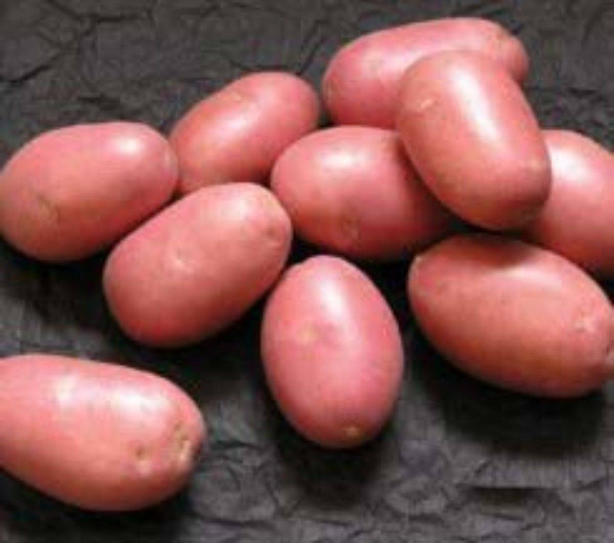Сорт картофеля лаура: описание сорта, характеристика, фото