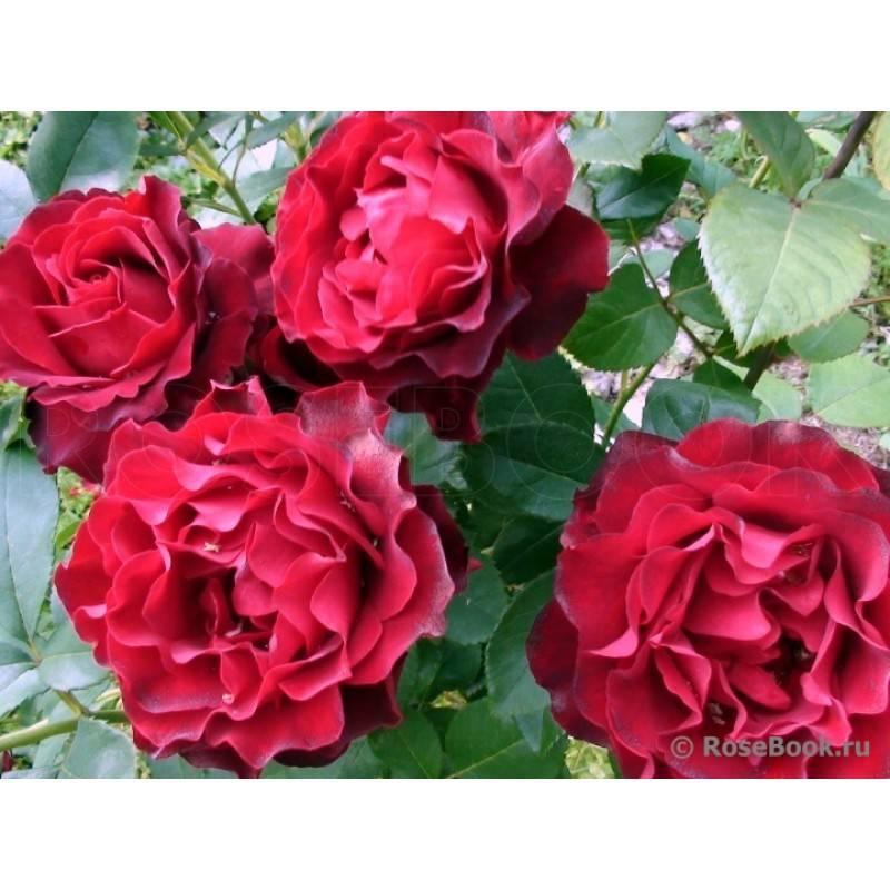 Чайно-гибридная флорибунда омаж а барбара: что это за сорт розы, как ухаживать