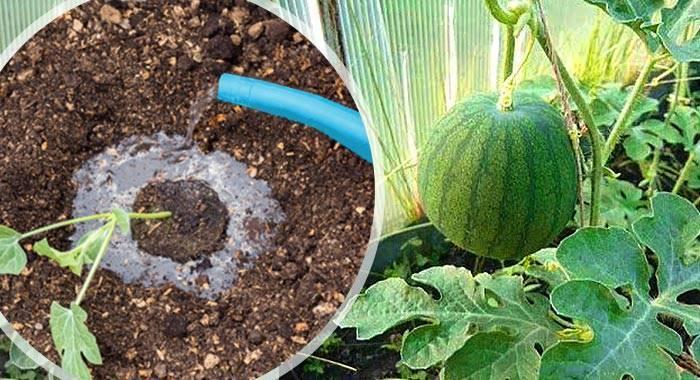 Выращивание арбузов — секреты посадки и ухода