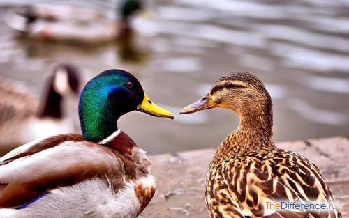 Гусь и утка - отличия: как выглядят, в чем разница, основные признаки