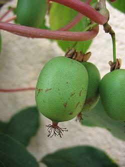 Актинидия коломикта: посадка и уход в открытом грунте, размножение, обрезка, описание сортов с фото