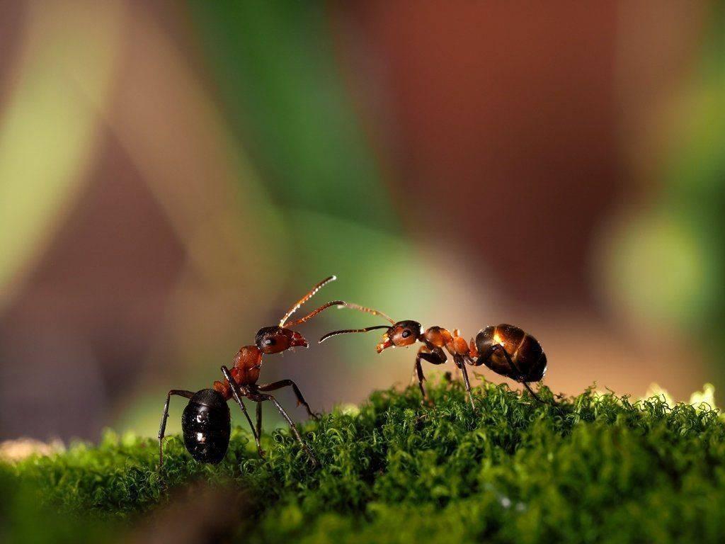 Как избавиться от муравьев в теплице самостоятельно и навсегда