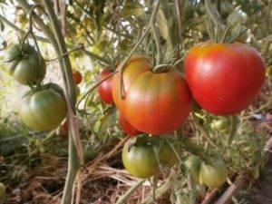 Томат сибирская тройка: описание сорта, отзывы, фото, урожайность | tomatland.ru