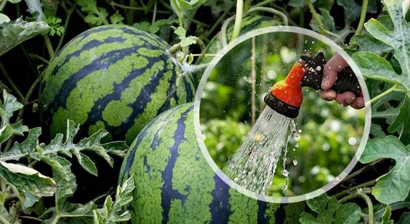 Как часто нужно поливать арбузы в открытом грунте и теплице, сроки, чем удобрять