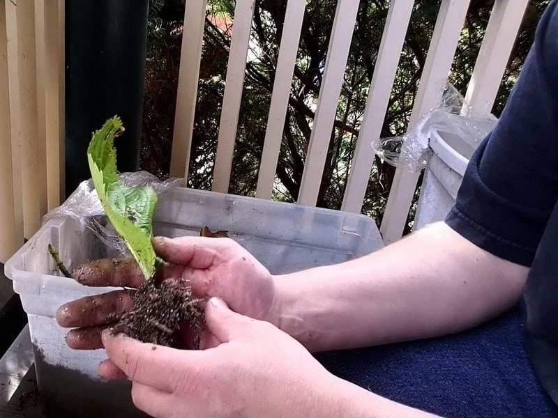 Размножение садовой гортензии – основные способы и советы по уходу за черенками