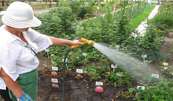 Как поливать малину — частота, сроки и технологии