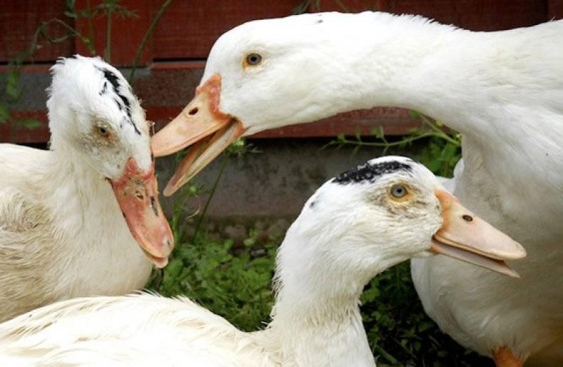 """Ветеринария: """"энрофлоксацин"""", инструкция по применению птицам"""