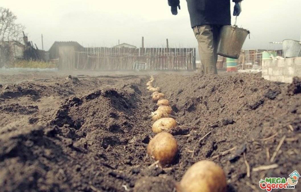Гербициды для картофеля: виды и названия средств от сорняков