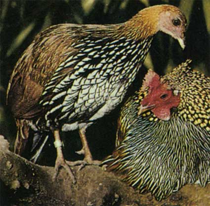 Дикие куры — прародители современных клуш, характеристика, виды