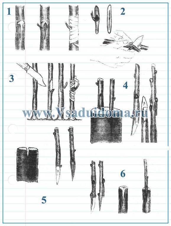 Как привить грушу весной: пошаговая инструкция