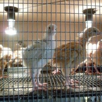 Чем кормить цыплят: кормление в домашних условиях