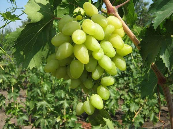 Описание сорта и особенности выращивания винограда «надежда азос»