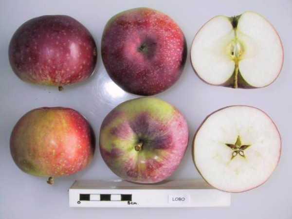 Зимний сорт канадской яблони — лобо