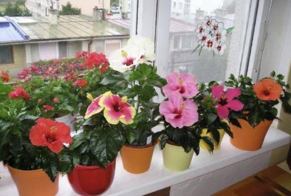 Китайская роза или гибискус комнатный  — уход в домашних условиях