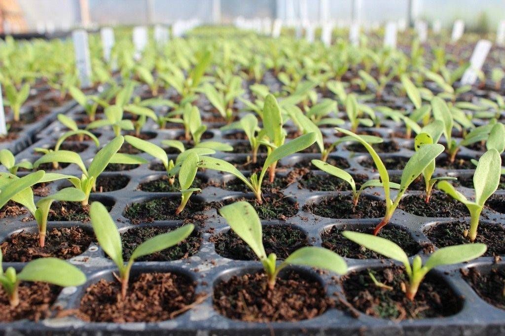 Посев семян на рассаду в 2020 году