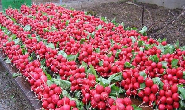 Как получить ранний урожай редиса в необогреваемой теплице, обзор сортов