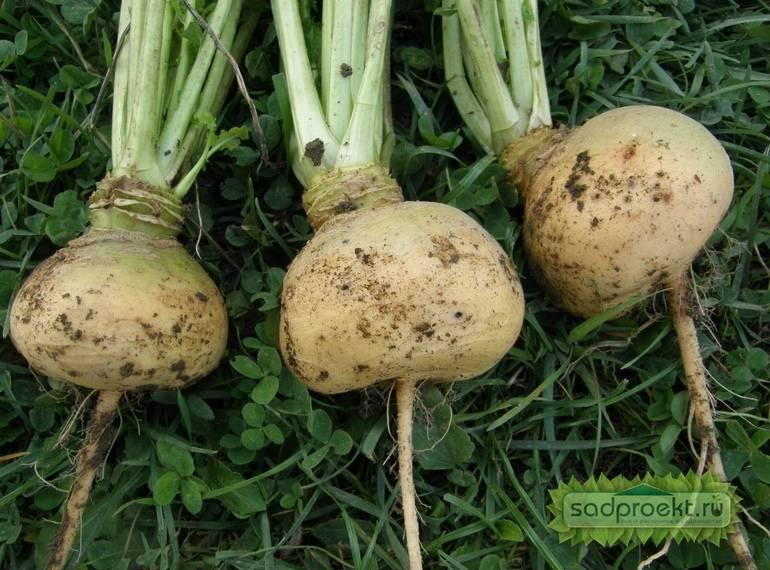 Когда сажать шпинат, как сеять семенами в открытый грунт весной, летом, осенью или зимой в сибири, на урале и других уголках россии?
