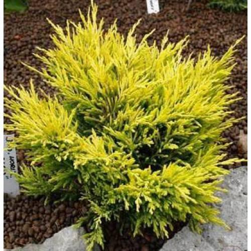 Можжевельник средний минт джулеп (juniperus media mint julep)