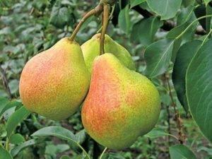 Какие сорта грушевых деревьев лучше всего выбрать для выращивания в средней полосе