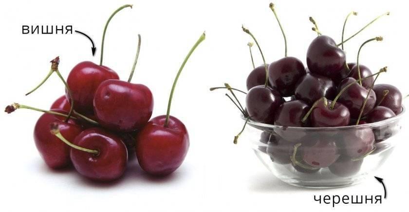 Чем вишня отличается от черешни