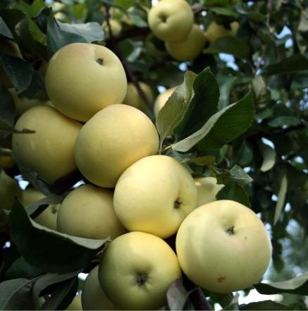 Характеритика и уход за яблоней «папировка»