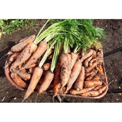 Морковь королева осени: описание позднего сорта с отзывами и фото