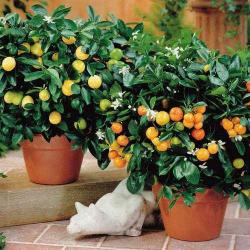 Мандариновое дерево: описание, сорта, выращивание и уход