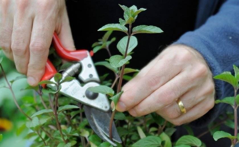 Как обрезать жимолость осенью, чтобы был хороший урожай