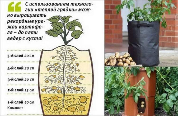 Выращивание картофеля в бочке: особенности посадки и ухода