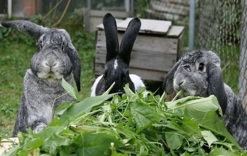 Трава для кроликов: какой можно кормить, а какую давать нельзя?