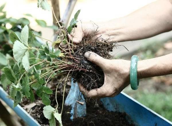 Размножение безусой садовой земляники