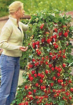 Все о выращивании клубники в домашних условиях круглый год: полезные советы