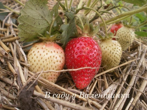 Выращивание клубники: грядки, рассада, посадка, как удобрять, борьба с вредителями